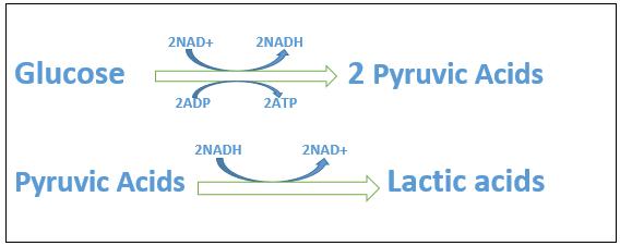 the equation of lactic acid fermentation