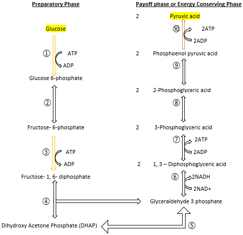 steps of glycolysis pathway